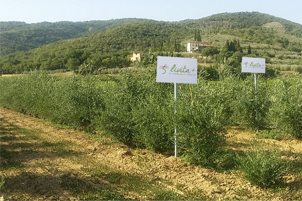 Difference between traditional, intensive and SHD olive grove
