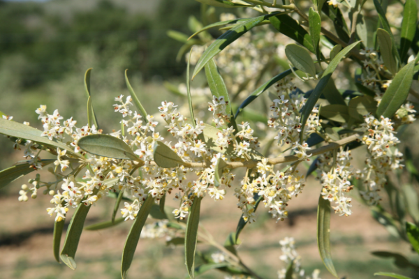 All about Arbequina: tree and olive characteristics, farming system