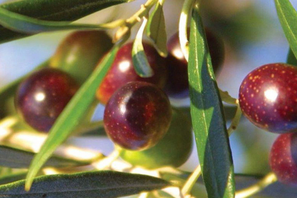 Guide To Koroneiki Tree And Olive