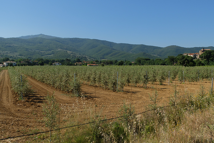 Super high-density olive orchards: long duration and high productivity